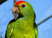 Red-browed Amazonian parrot